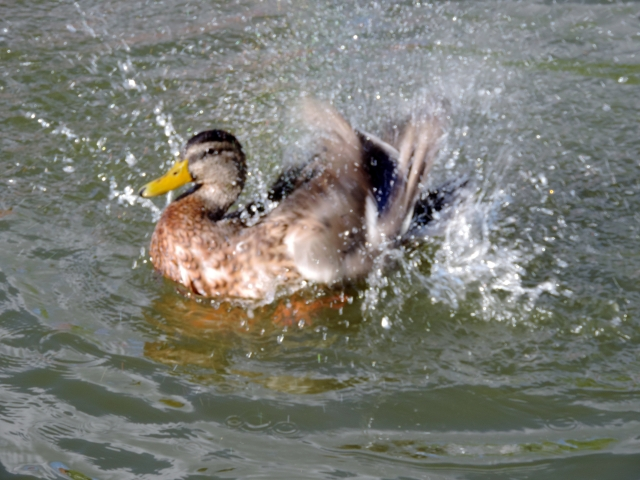 ducksplash